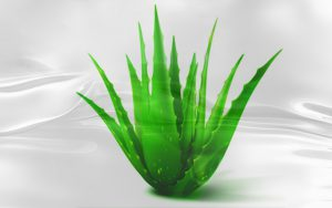 Facts about the plant Aloe vera